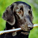 Kopfbild Faltcoated Retriever