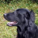 Kopfbild Flatcoated Retriever