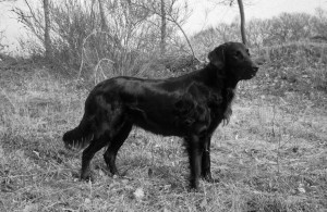 Flatcoated Retriever Viewpoint's Follow me Dana
